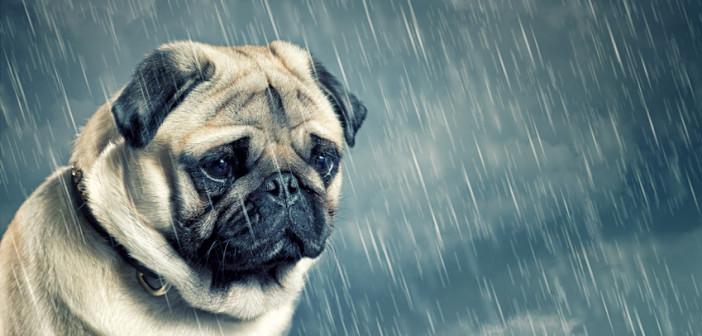 Sad Pug In Rain@dontgiveupworld