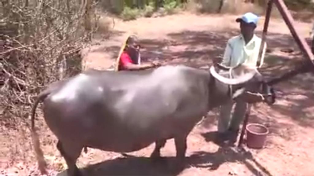 Shantabai shaving cattle
